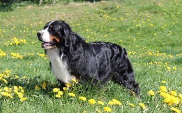 Bovaro del Bernese: carattere e prezzo