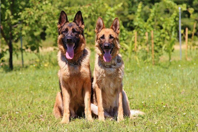 10 motivi per cui il pastore tedesco è un cane perfetto per la famiglia