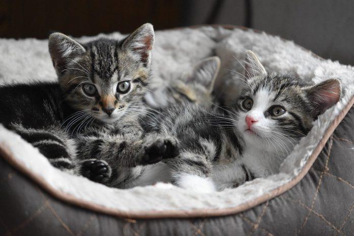 Come prendersi cura dei cuccioli di gatto