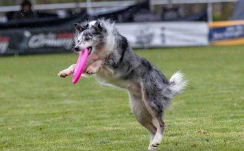 Alimentazione per il cane sportivo
