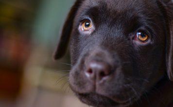 I cani ci parlano attraverso lo sguardo
