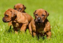 Parvovirus canino: cause, fattori di rischio, sintomi e diagnosi