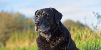 Controllo del peso e alimentazione completa per un cane anziano: quali prodotti privilegiare